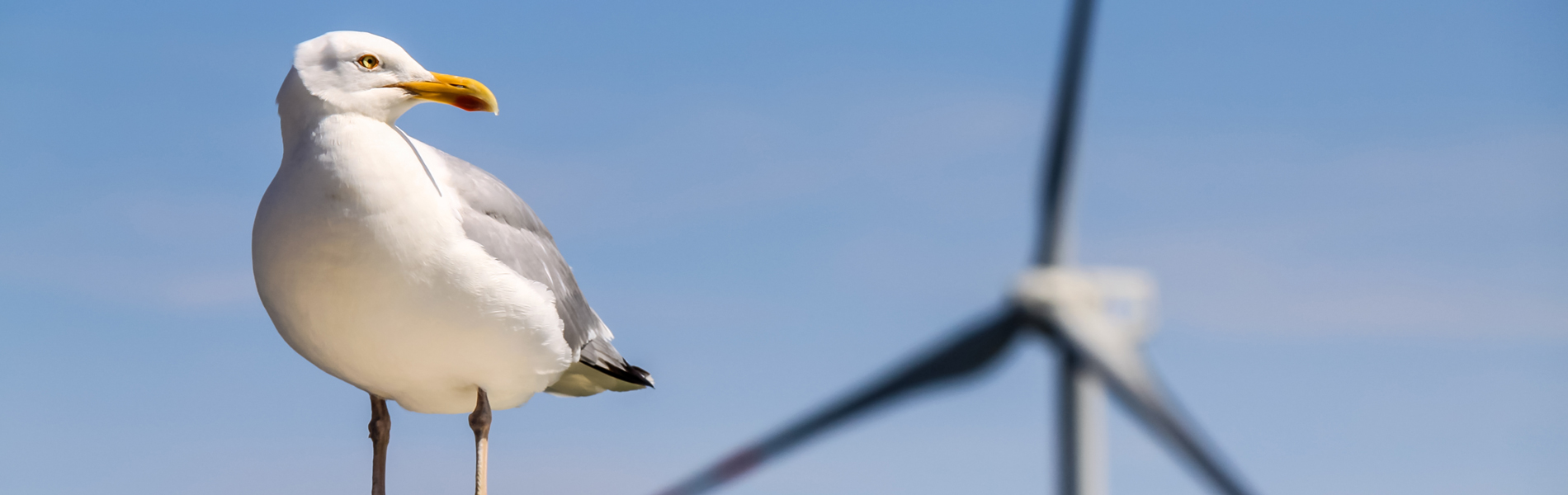 seagull dispersal from wind turbine at sea