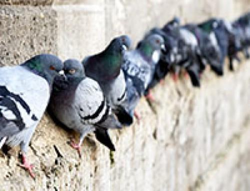 De Agrilaser Handheld voor het verjagen van duiven in de stad