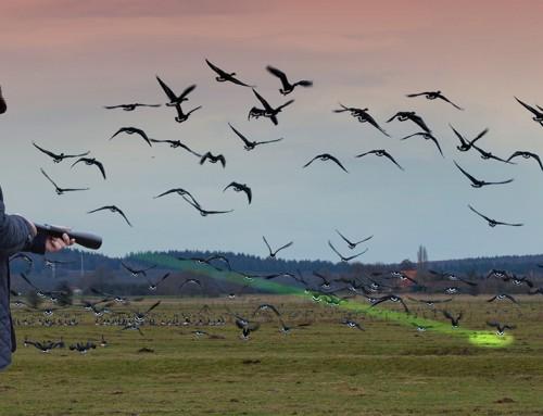 Overheid start landelijke praktijkproef ganzenverjaging met laser