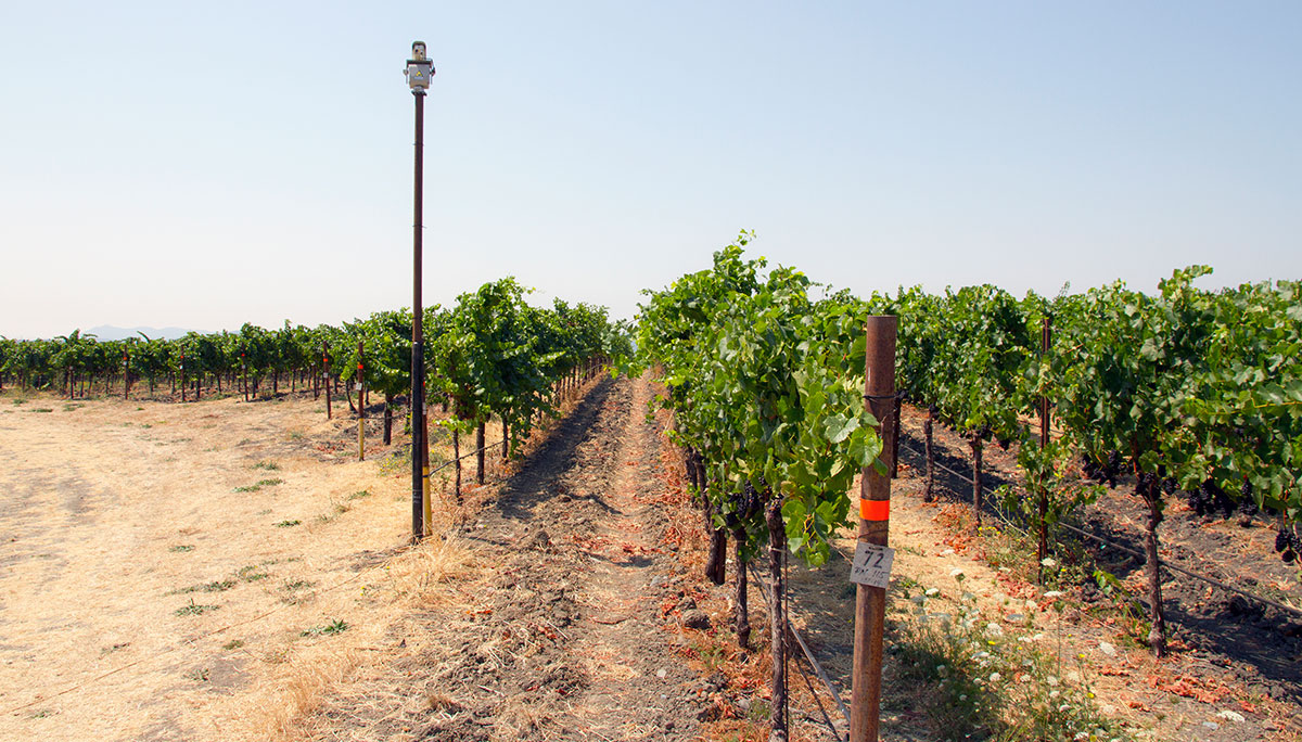 Laser bird repellent technology solves bird problem in wine grape industry