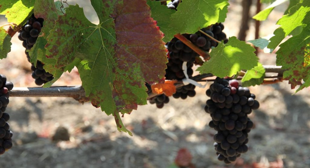How to Scare Birds Away from Wine Grapes?