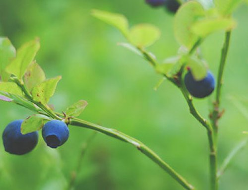 4 steps to take to get rid of birds from your blueberry farm