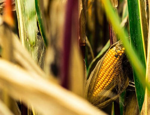 How Do Farmers Keep Birds Away from Their Corn?